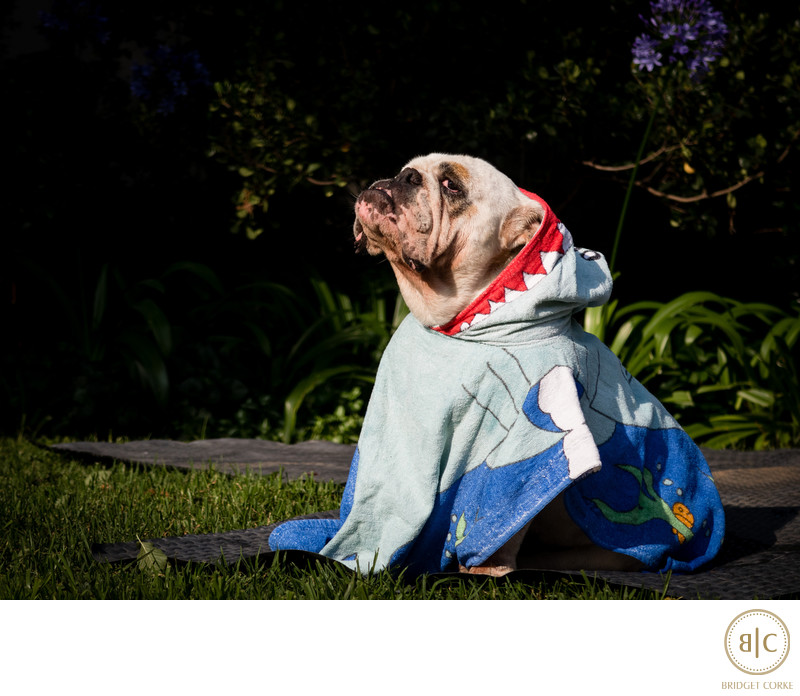 Family Photograph of Venus the Bulldog in Summer 2016 Johannesburg