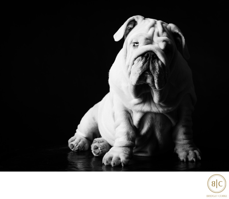 Princess Leia Bulldog Taken For Family Collection in Studio in Black and White Pet Photography