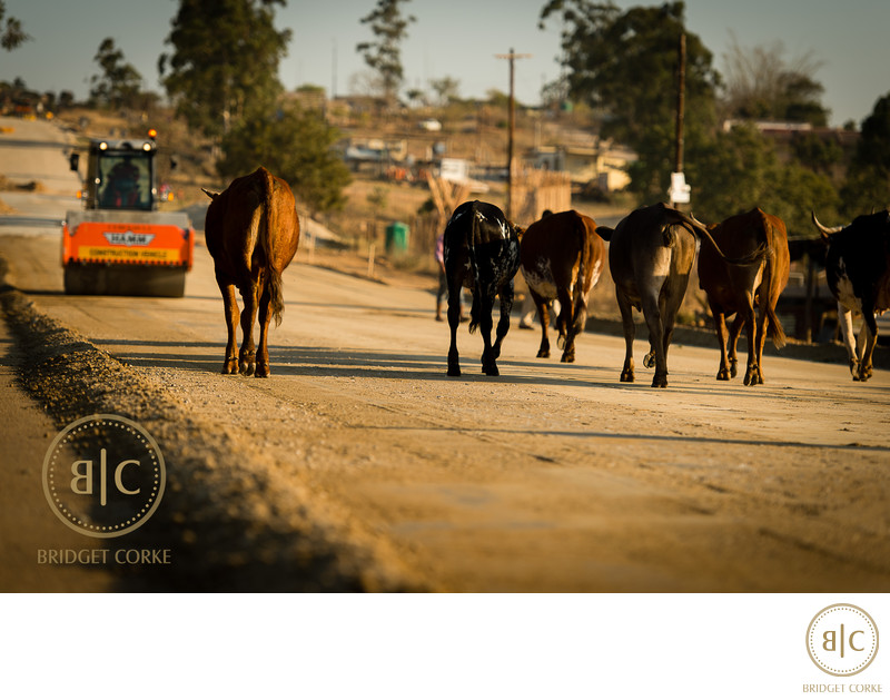 Nguni Cows Photographed on Corporate Location Shoot