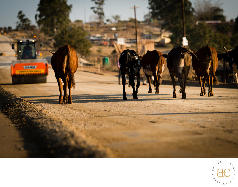 Editorial Nguni Cows Road Construction Photography