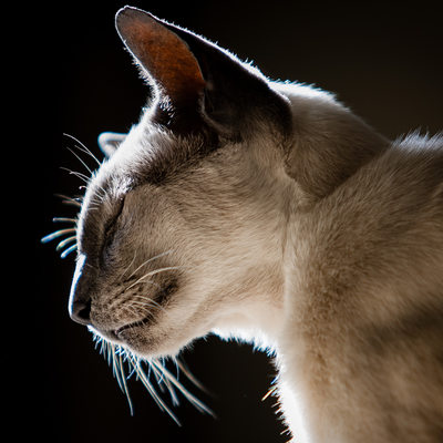 Siamese Cats Pet Photography Johannesburg