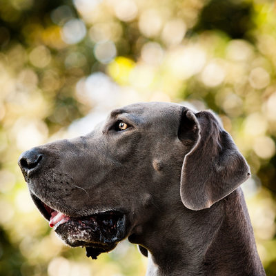 Great Dane Dog Location Pet Photographer Johannesburg