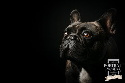 Black French Bulldog Photographed by Johannesburg Pet Photographer Bridget Corke