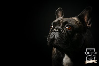 JOHANNESBURG: Portrait Masters French Bulldog Winner Photo