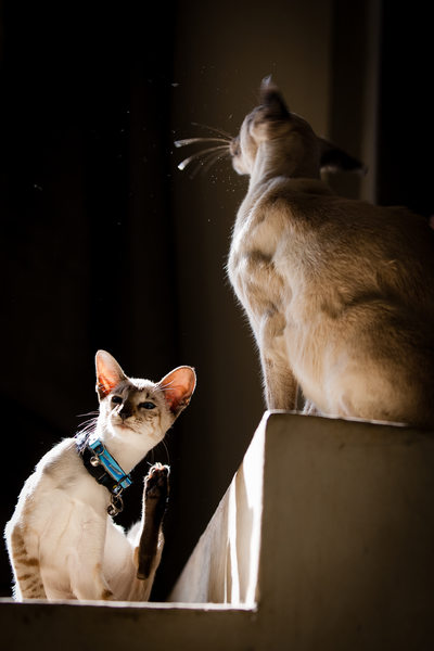 Siamese Cats Pet Photographer Johannesburg