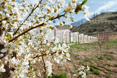 White Blossoms on Fruit Trees in Orchard