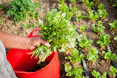 Picking fresh cilantro by hand.