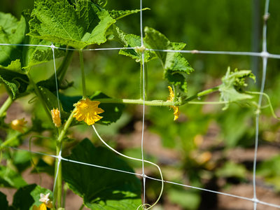 Cucumber Vines Supported on Trellis