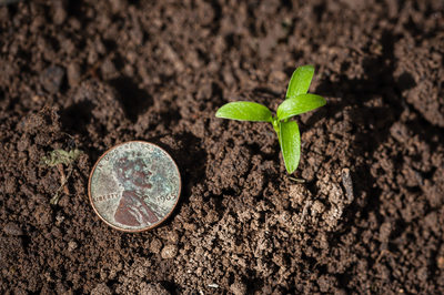 Seedling Next to Penny