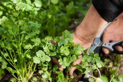 Harvesting cilantro by hand.