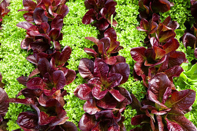 Red and Green Lettuce Rows