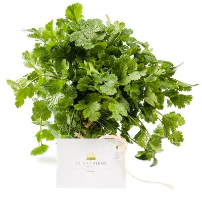 Bunch of cilantro herb