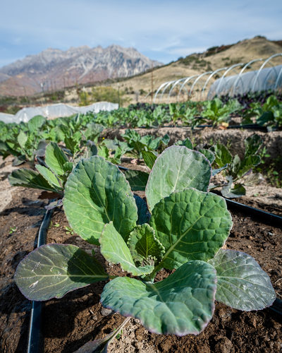 Cabbage Leaves with Mountains Wide Angle