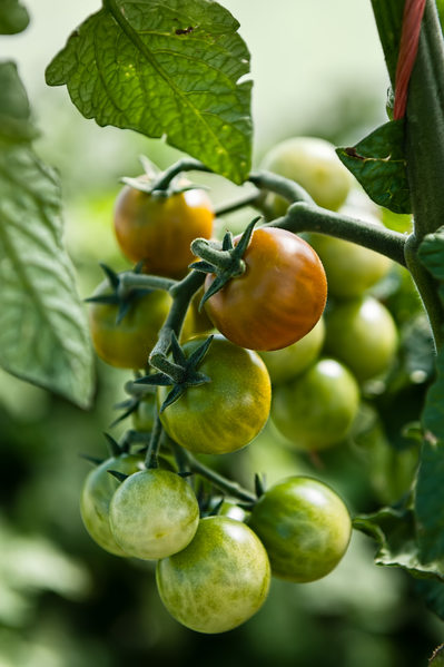Cluster of RIpening Cherry Tomatoes