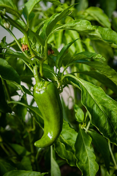 Green jalapeno pepper ripening on the vine.